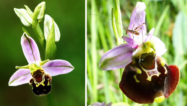 orchidee sauvage aquitaine